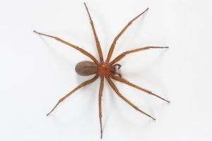 Imagen de la araña loxosceles laeta