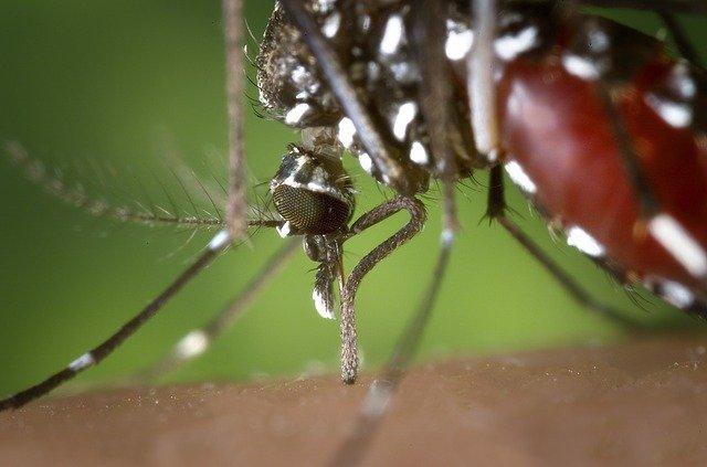 Mosquito tigre mientras pica a una persona